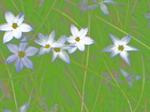 160412花ニラ-1.jpg
